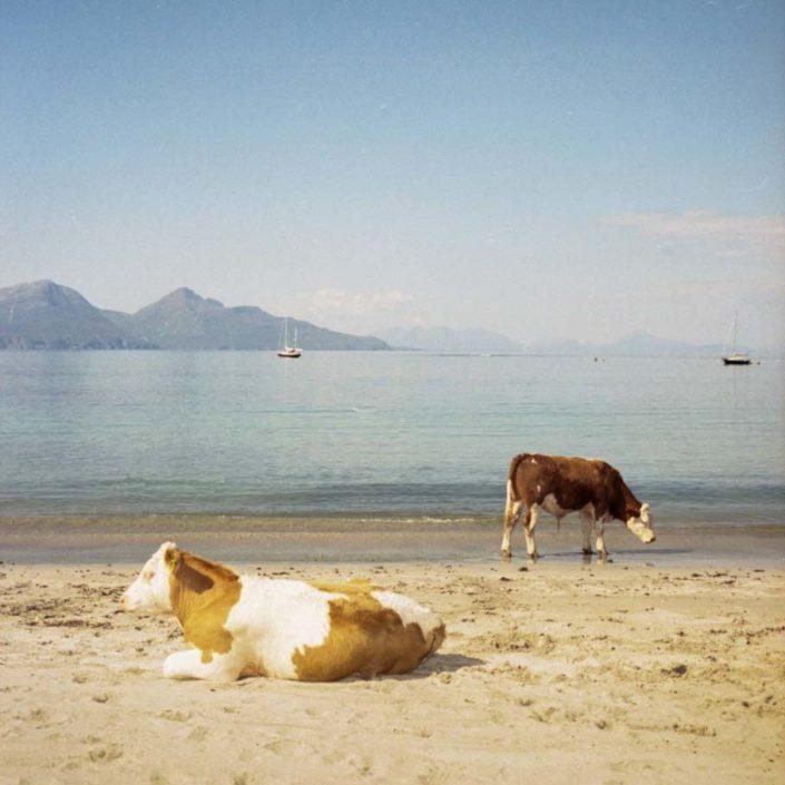 Muir Vidler. Cows, Beach, Isle of Muck, 2014