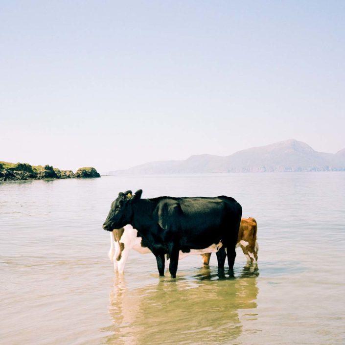 Muir Vidler. Cows, Sea, Isle of Muck, 2014