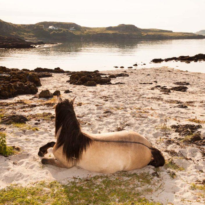 Muir Vidler. Horse, Beach, Isle of Muck 2014